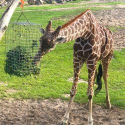 giraffe-blijdorp