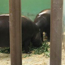 nijlpaard-blijdorp