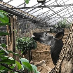 tapir-blijdorp